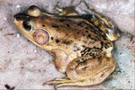 Why Do Amphibians Have Thin & Moist Skin?
