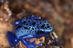 How to Tell if a Poison Dart Frog Is a Male?