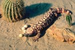A List of the Predators of the Gila Monster
