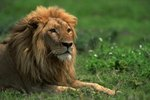 What Is the Predator of the African Lion?