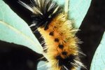 How to Tell the Gender of a Banded Woolly Bear Caterpillar