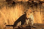 What Does an African Leopard Eat?