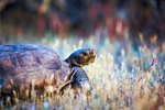 Why Do Desert Turtles Nod Their Heads Up & Down?