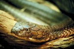 What Shape Are Venomous Snakes' Eyes?