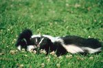 How Often Do Skunks Have Litters?