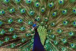 Do the Colors of a Male Peacock Help Them Reproduce?