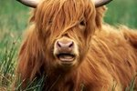 Facts About Ayrshire Cows