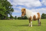 What Is Cushings Disease in Horses?