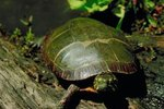 Hibernation of California Pond Turtles