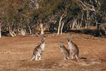 What Is the Habitat of an Australian Kangaroo?