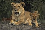 The Gestation Time for Lions