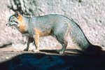 Animals That Live in the Atacama Desert
