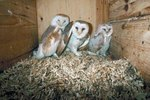 How to Build a Box for Barn Owls