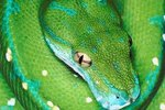 Emerald Tree Boa vs. Green Tree Python