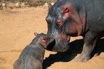 A Hippopotamus's Care of Its Babies