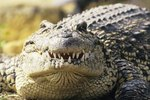 How Do the Florida Crocodiles Get Their Food?