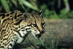 Are Ocelots an Endangered Species?