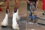 How to Groom a Clydesdale's Legs