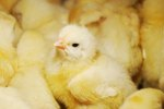 How to Maintain Humidity in a Chicken Incubator