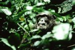 What Ecosystems Depend on Gorillas?