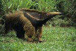 Do Anteaters Have Teeth?