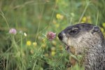 How Long Is a Groundhog Pregnant?