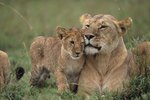 How Do Lions Care for Their Young?