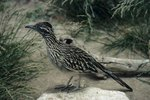 The Scientific Name for the Roadrunner