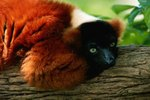 Animals in Madagascar Threatened by Deforestation