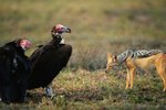 Are Vultures Dangerous?