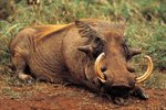 5 Warthog Facts