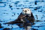 Why the Sea Otter Is in Danger to Become Extinct