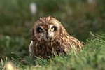 Are All Owls Nocturnal?