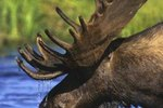 Do Elk Have Split Hooves?