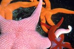 Feeding & Respiration of a Starfish