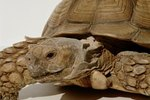 How to Tell the Gender of Baby Sulcata Tortoises