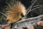 How Does a Porcupine Take Care of Its Young?