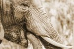 The Adaptations of Elephants for Survival