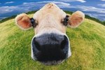 What Would Cause a Cow to Regurgitate Its Cud?