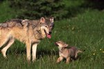 Facts About Baby Wolves