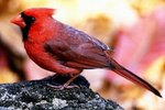 Color Phases of Northern Cardinals