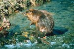 Can Beavers Hear Under Water?