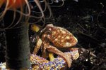 Distinguishing Characteristics of Octopuses