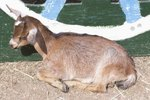 Formulas for Bottle-Feeding Dwarf Goats