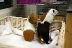 Can Guinea Pigs Be Friends With Pet Rats?