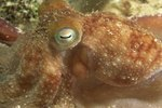 What Kind of Octopus Live in the Atlantic Ocean?