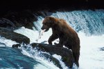 Alaskan Grizzly Bears & Salmon Migration
