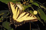 Why Did the Eastern Tiger Swallowtail Become South Carolina's State Butterfly?