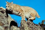 How Does an Iberian Lynx Catch Its Prey?