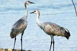 How to Tell Gender Difference in Sandhill Cranes